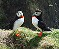 Atlantic Puffins at Sumburgh Head, Shetland, UK.jpg
