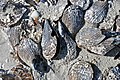Atrina pen shell bivalves on marine shoreline (Algiers Beach, Sanibel Island, Florida, USA) 6.jpg