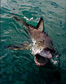 Attacking great white shark.jpg