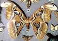 Attacus atlas (atlas moth) (17259136205).jpg