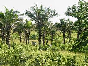 Attalea phalerata - Image: Attalea phalerata population