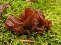 Auricularia auricula-judae MdE.jpg