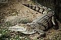 Australian Freshwater Crocodile (6817177267).jpg