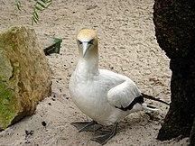 Cat Island-Fauna-Australian Gannet 2