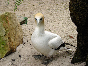 Cat Island (Tasmania) - Cat Island used to be an important breeding site for Australasian gannets.