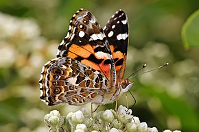 Description de l'image Australian painted lady feeding.jpg.