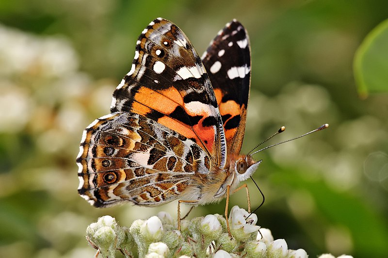 File:Australian painted lady feeding.jpg