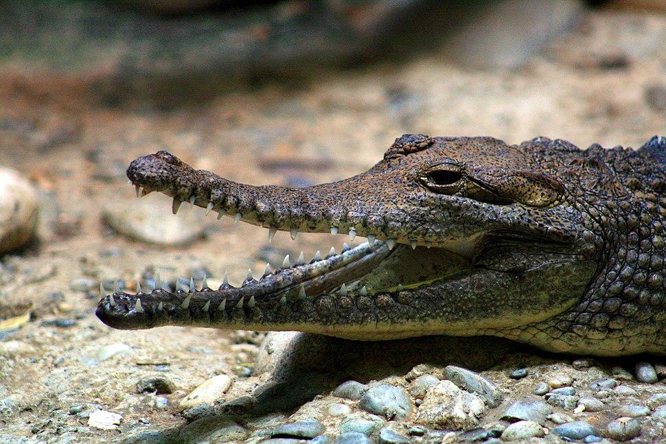 Australien-Krokodil