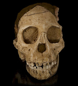 Australopithecus africanus - Cast of taung child Face.jpg