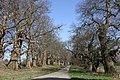 Avenue of Chestnuts - geograph.org.uk - 451659.jpg