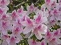 Azaleas - panoramio.jpg