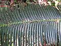BCBG Burrawang Leaf Detail.jpeg