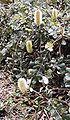 B integrifolia roller coaster sylvan1 email.jpg