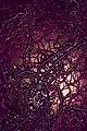 Bacillus mycoides.jpg