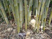 Bamboo AngelMist Mounts Asit