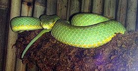 gramineus , Katraj Snake Park, Pune .