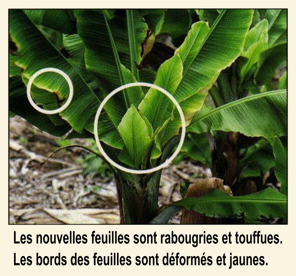 Maladies du bananier wikip dia for Eleagnus maladie feuilles jaunes
