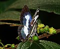 Banded Blue Pierrot (Discolampa ethion) (6362452595).jpg