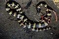 Banded Krait Bungarus fasciatus by Dr. Raju Kasambe DSCN7256 (2) 01.jpg