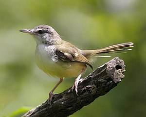 Bar-winged Prinia (Prinia familiaris) .jpg