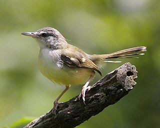 <i>Prinia</i> genus of birds