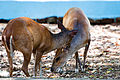 Barking Deer - 1.jpg