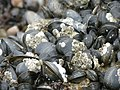 Barnacles on the mussels on the beach, Ramsgate West Cliff - geograph.org.uk - 1335703.jpg