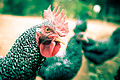 Barred Plymouth Rock Rooster 004.jpg