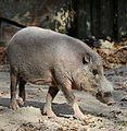 Bartschwein Sus barbatus Tierpark Hellabrunn-5.jpg