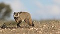 Bat-eared fox, Otocyon megalotis, at Kgalagadi Transfrontier Park, Northern Cape, South Africa (34905056501).jpg