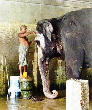 Captive elephants - A temple elephant being washed at a Hindu temple in Kanchipuram, Tamil Nadu.