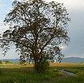 Baum vor Geinsheim - panoramio.jpg