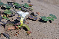 Beach morning-glory (Ipomoea imperati) 02.jpg