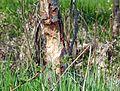 BeaverHaidSaalfelden 03.jpg