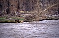Beaver gnawed Cottonwood on bank falling into the Lamar River, 1 of 3 (2ee85340-83a3-4598-8414-7a1b4857ce76).jpg