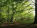 Beech woodland west of Decoy Lake - geograph.org.uk - 800366.jpg