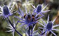 Bees on Eryngium Sea Holly Blue Thistle Sundial Garden Hatfield House Hertfordshire England 3.jpg