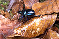Beetle on leaf (6342646549).jpg