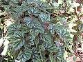 Begonia incarnata-IMG 1138 rbgs10dec.jpg