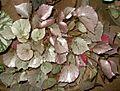 Begonia plant 4.JPG