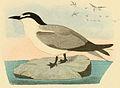 Beitrag zur fauna Centralpolynesiens. Ornithologie der Viti- Samoa- und Tonga-inselnPl13 part02 Onychoprion lunatus.jpg
