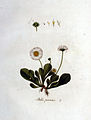Bellis perennis — Flora Batava — Volume v1.jpg