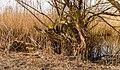 Bemoste, geteisterde boomstronken aan voetpad naar vogelkijkhut De Schollevaar. Locatie, Oostvaardersplassen 06.jpg