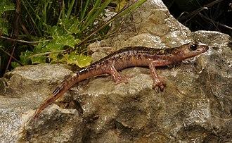 Monte Albo cave salamander - Image: Benny Trapp Monte Albo Höhlensalamander Speleomantes flavus Sardinien Italien