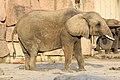 Berlin Tierpark Friedrichsfelde 12-2015 img11 African elephant.jpg