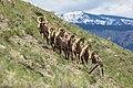 Bighorn rams on Mount Everts (2e95183f-cf91-4efa-b59e-a178049d0d0b).jpg