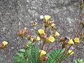 Biophytum sensitivum-flower-yercud-salem-India.JPG