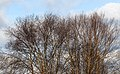 Birch Trees Against Winter Sky.jpg