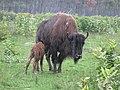 Bison and her newborn calf (22343453564).jpg