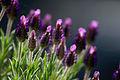 Blühender Lavendel.jpg